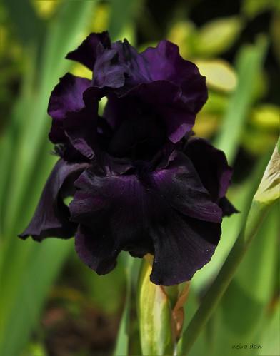 Iris 'Black Tie Affair' - Schreiner 1993 51175884043_54293fc75d