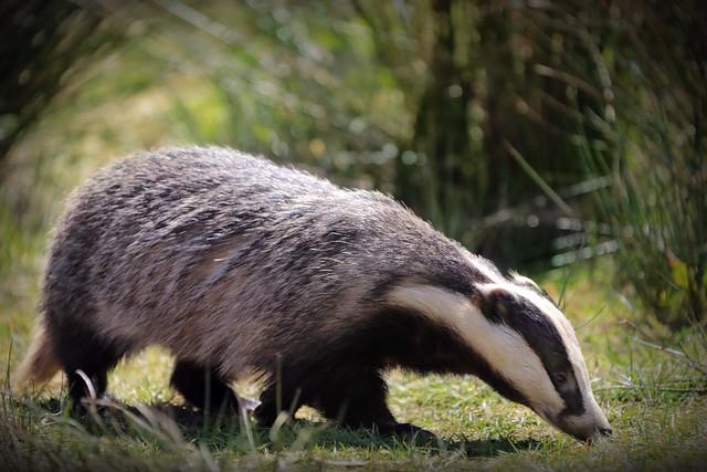 Foraging Badger