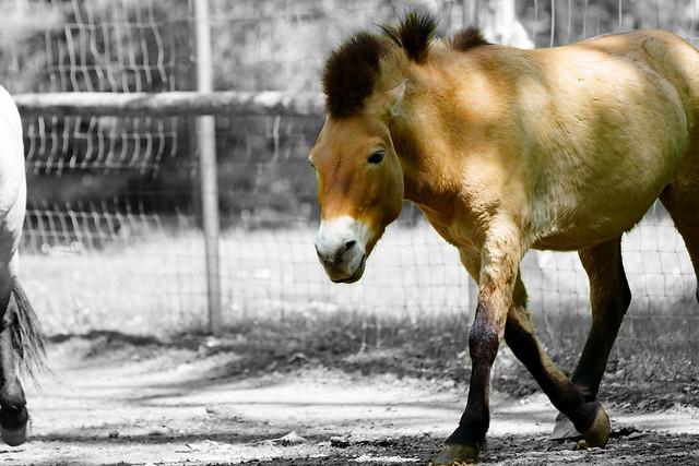Equus przewalskii - Przewalski-Pferd