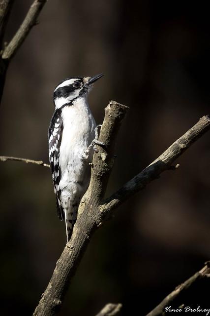 Hairy Woodpecker-8631-2