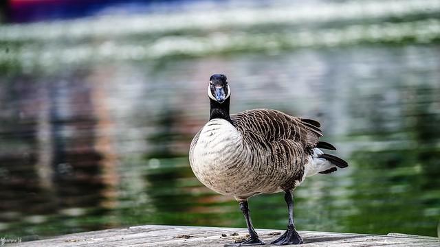 9731 - Goose