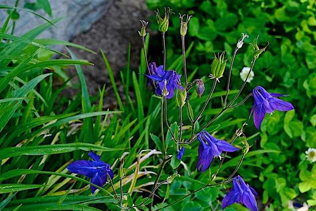 Columbine in Plot Planting Area