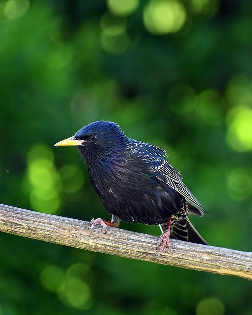 Starling bird