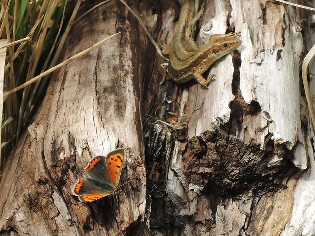 Small Copper (Lycaena phlaeas) & Common Lizard (Lacerta vivipara)