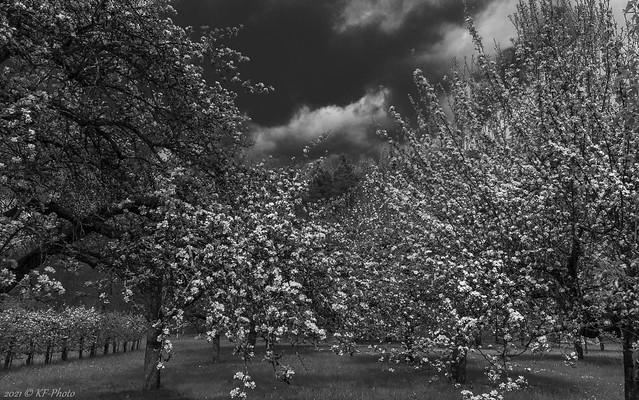Flowering fruit trees in the Neckar valley