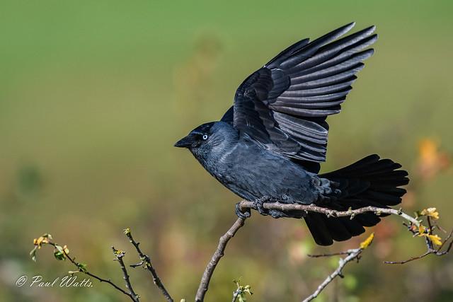 (Western) Jackdaw (Corvus monedula)