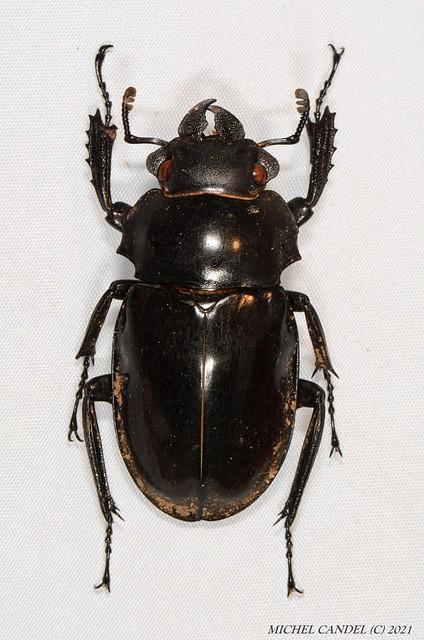 Odontolabis siva siva (Hope et Westwood 1845) - femelle - Lucanidae - Gunung gadin - Sarawak - BORNEO