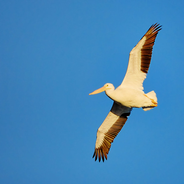 Cruising: American White Pelican