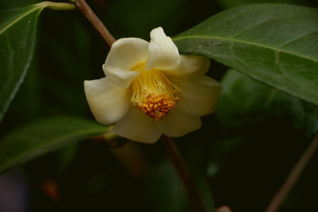 Kamelie / Camellia tunghinensis