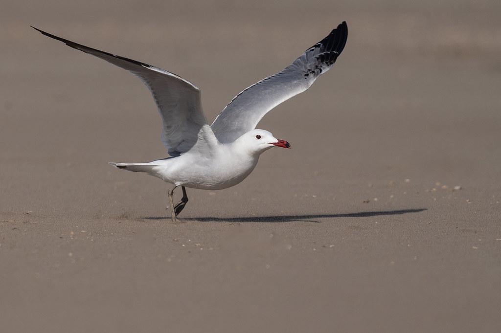 Gavina corsa - Gaviota de Audouin - Audouin 's gull - Goéland d'Audouin - Larus audouini