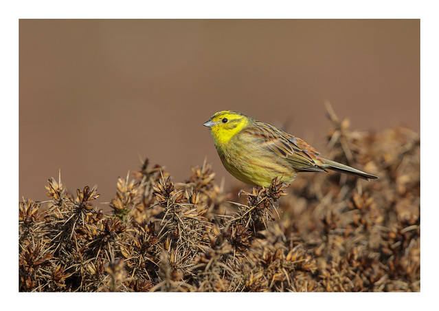 Yellowhammer (male) - (Emberiza citrinella) 2 clicks for large