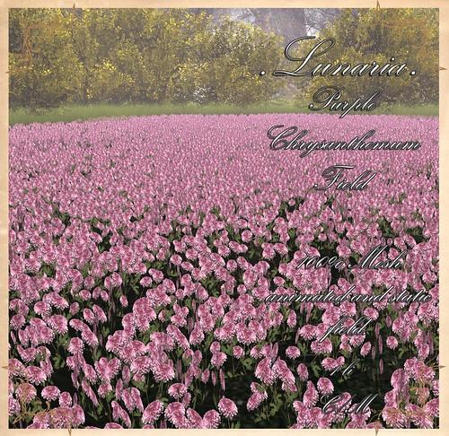 Planting Peace Hunt - Purple Chrysanthemum Field pic