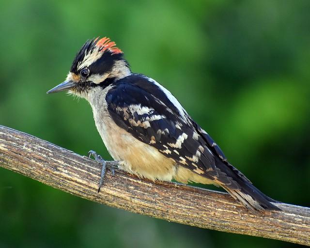 Male downy woodpecker bird