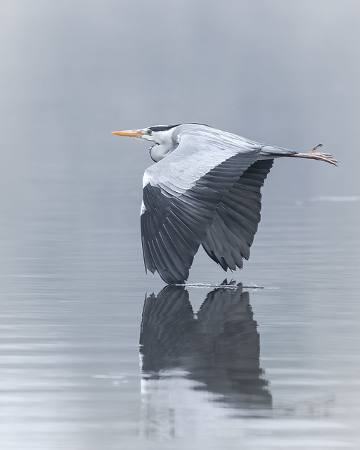 A grey heron flies just above the water surface