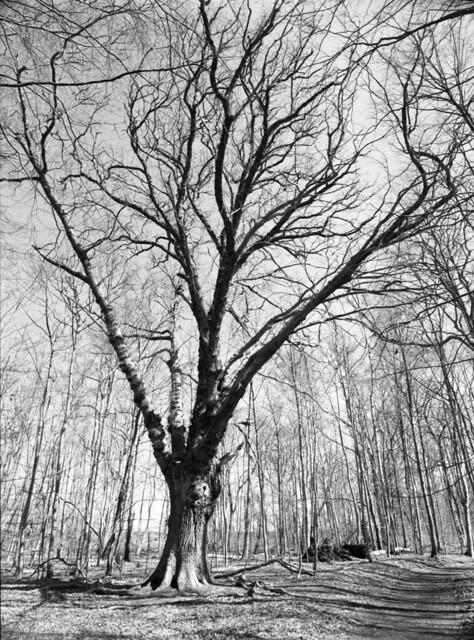 Struttende træ i Nordskoven