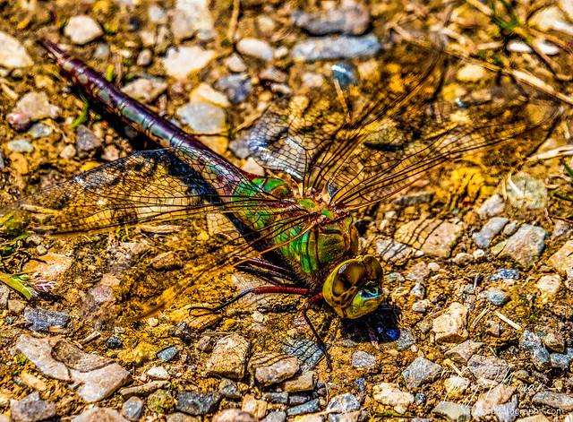 Keeled skimmer dragonfly on gravel