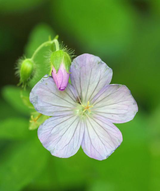 wild geranium A
