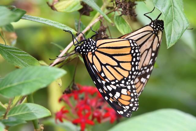 Monarch Nature DSC_6248