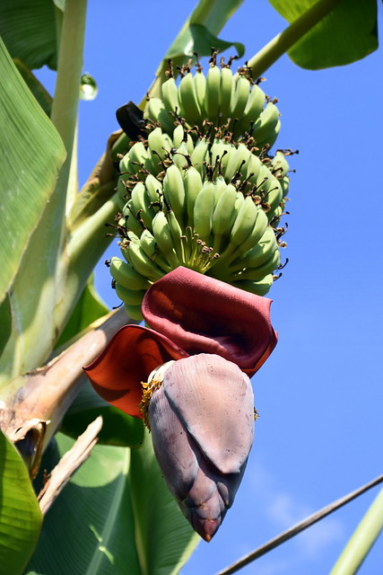 Bananas and Flower