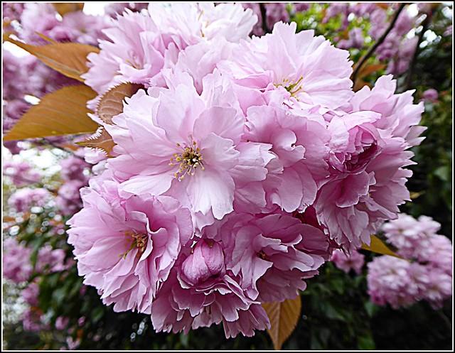 Pink Cherry Blossom ..