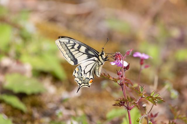 Le Machaon ou Grand porte-queue (Papilio machaon)