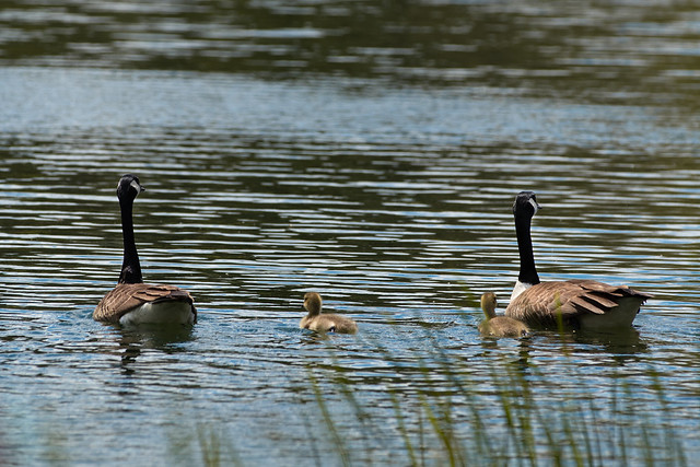 Geese_with_goslings-3