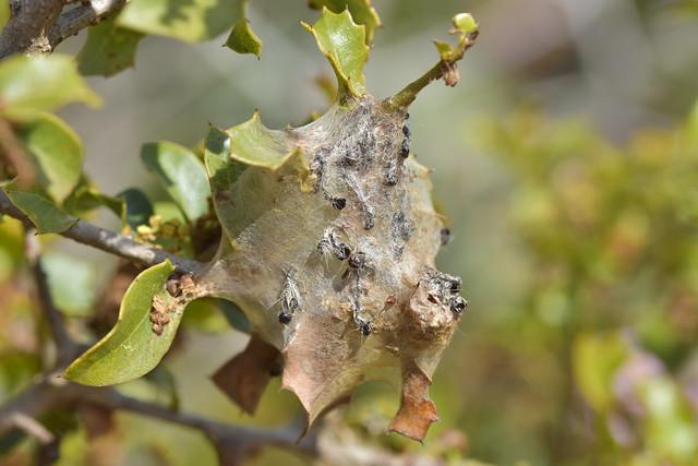 Bolsa de orugas en Quercus coccifera
