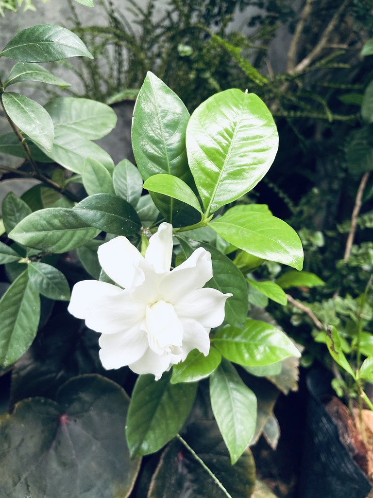 Rosal (Gardenia jasminoides Ellis)