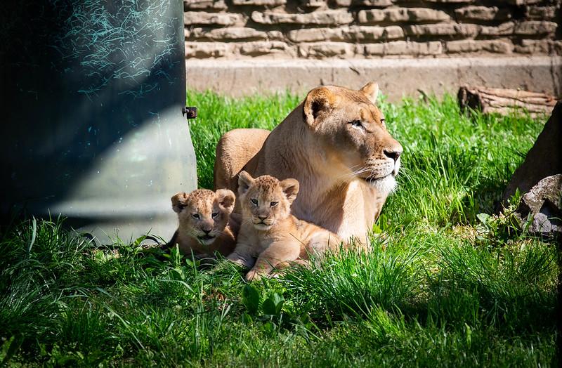 Buffalo Zoo Lion Cubs