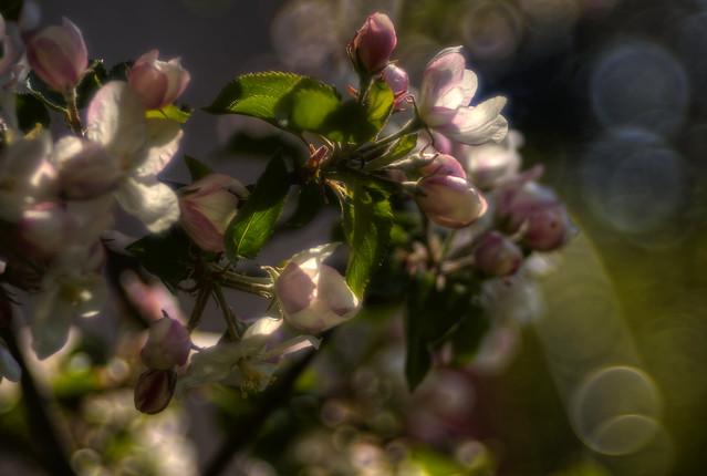 The apple blossom
