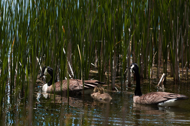 Geese_with_goslings-2