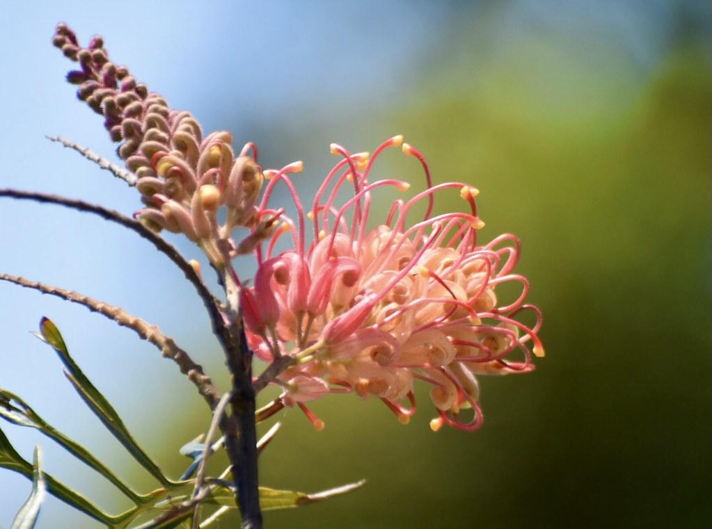 Australian Siky Oak, Grevillea Robusta. Coogee, NSW 🇦🇺