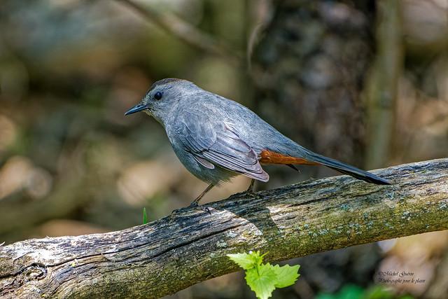 Moqueur chat - Gray Catbird - Dumetella carolinensis
