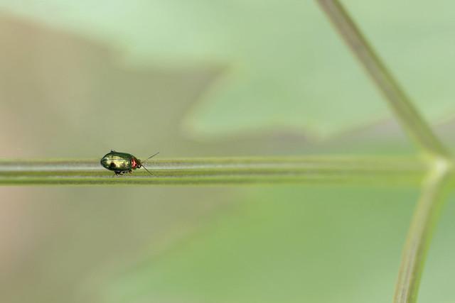 Gouden wilgenaardvlo (Crepidodera aurata)