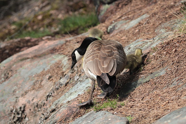 A Canada goose with her baby