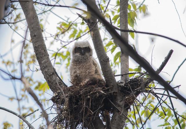 Grand-Duc d'Amérique/Great Horn Owl-PM5_3163