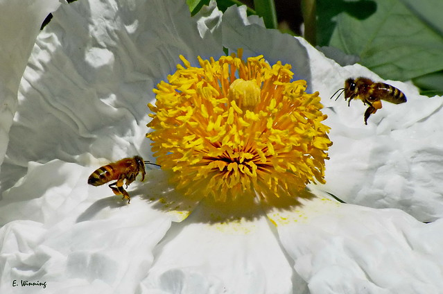Matilija Poppy and Honey Bees in 2000 -  0897