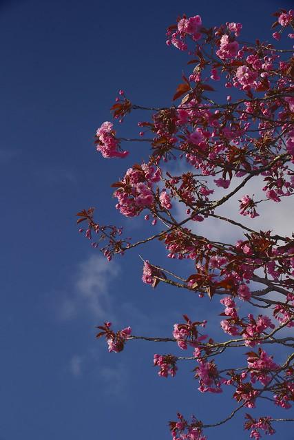 Japanische Blütenkirsche (Prunus serrulata); Wohlde, Stapelholm (4)