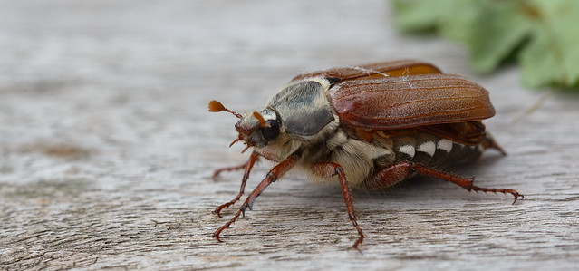 The first cockchafer since years
