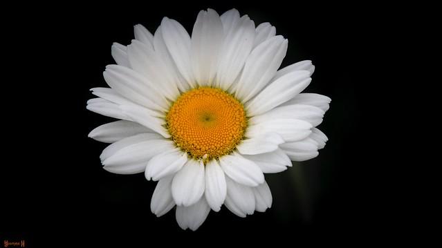 9735 - Daisy