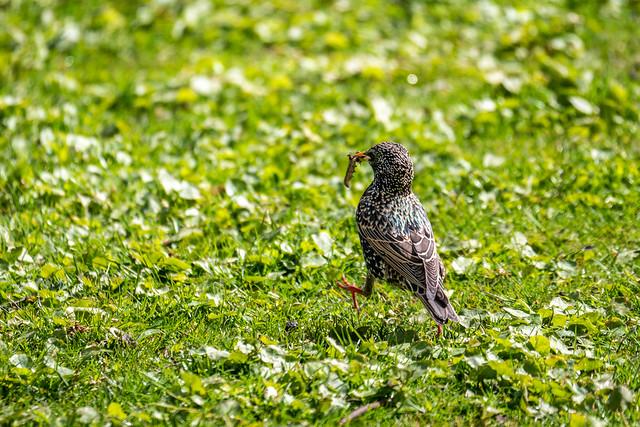 Berlin, Tiergarten: Star auf Futtersuche - Starling in search of food
