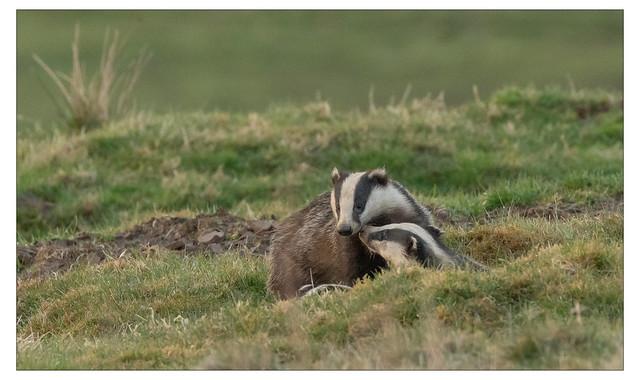Badger Love