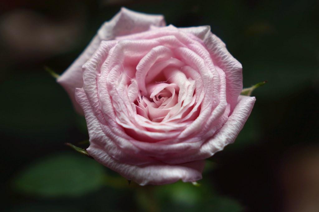 Pink Rose      Boyer Paris Saphir <<B>> 85mm F 3.5