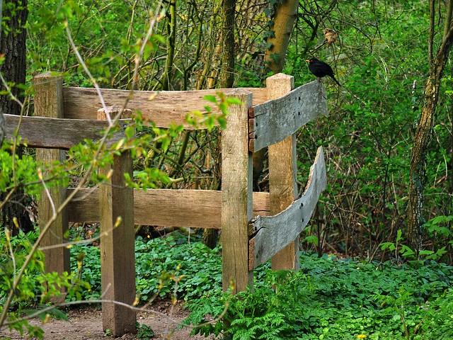 blackbird on a happy fence ;-) HFF