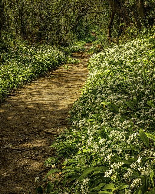 Footpath through the Wild Garlic