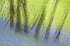 Bluebell Wood ICM