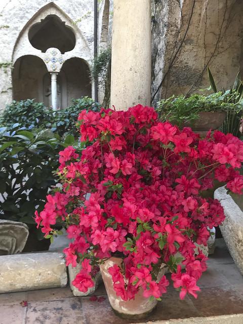 A splendid Azalea, on the Amalfi Coast.
