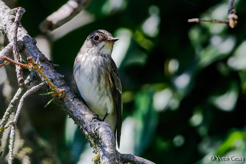 Gobemouche gris (Muscicapa striata)-3.jpg