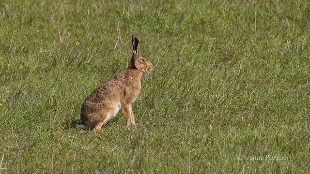 Hare (3)