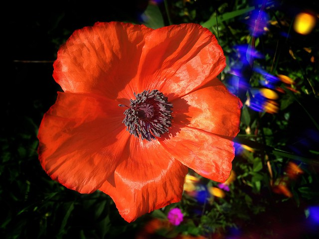 Orillia Ontario Canada ~ Leacock Museum ~ Flower Garden Abstract Poppy
